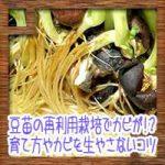 豆苗の再利用栽培でカビが!?育て方やカビを生やさないコツなど